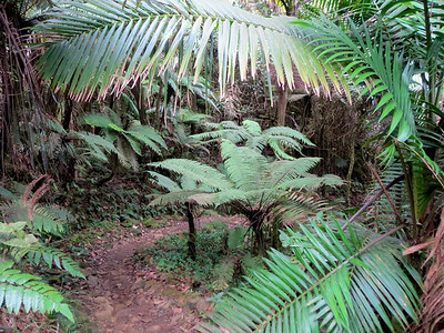 This is a typical hiking trail in the El Yunque National Forest.