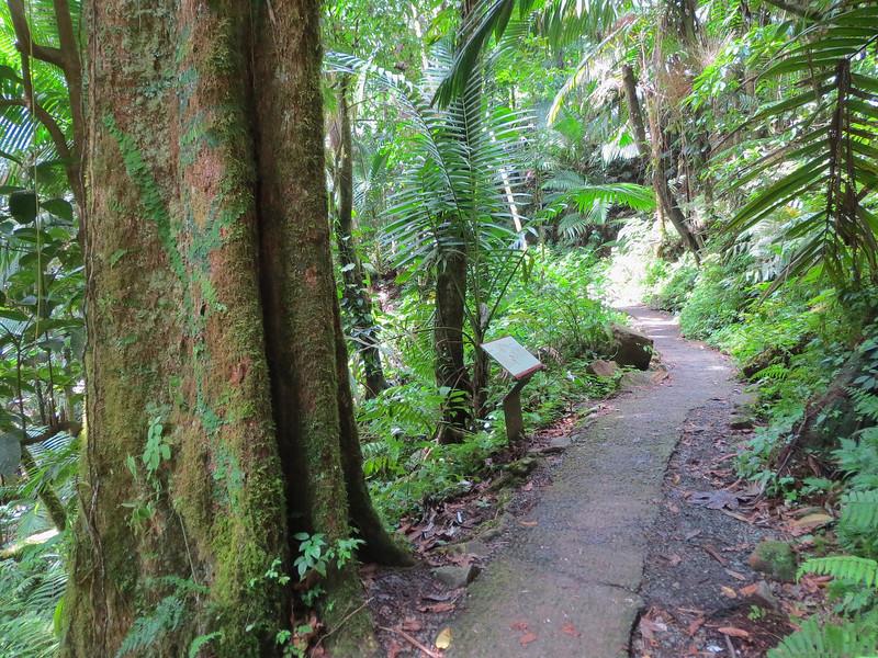 The big tree hiking trail which leads to La Mina Falls.