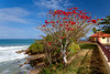 Red flowers of Naked  tree in the Punta Higuera lighthouse  park near Rincon, Puerto Rico.