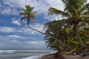A majestic palm hanging over the beach near Rincon, Puerto Rico, Caribbean.