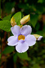 Blue Thunbergia flowers near Rincon, Puerto Rico.