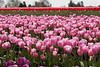 Skagit Valley Tulips 139