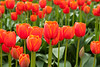 Skagit Valley Tulips 124