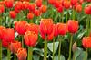 Skagit Valley Tulips 124