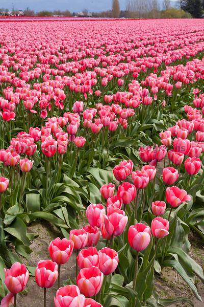 Skagit Valley Tulips 134