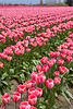 Skagit Valley Tulips 134