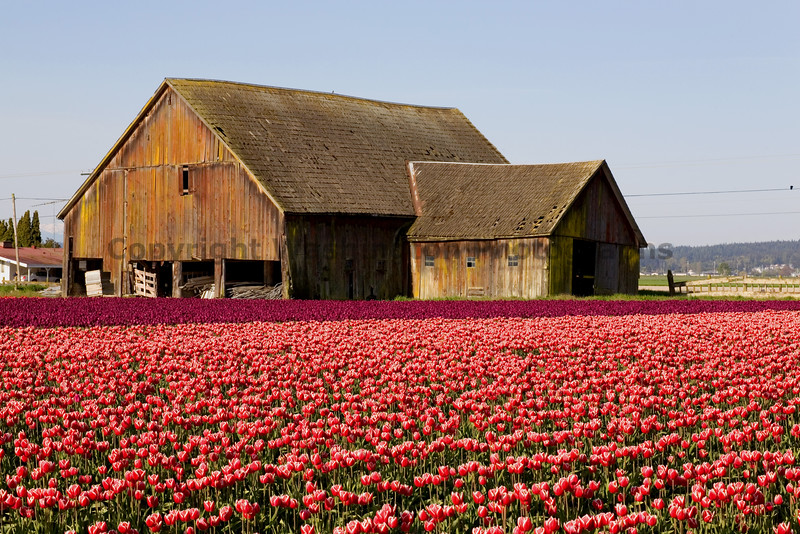 Skagit Valley Tulips 004