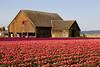 Skagit Valley Tulips 004