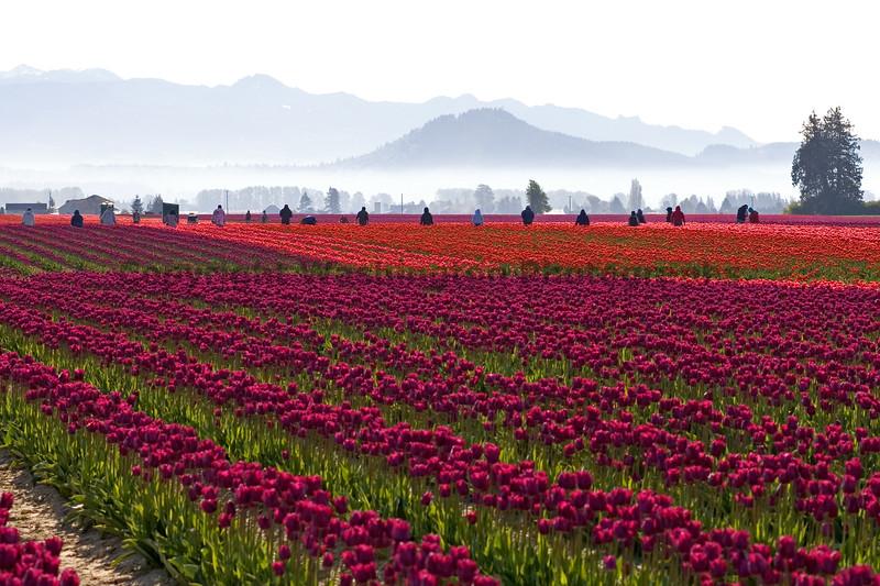 Skagit Valley Tulips Morning 101