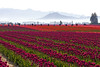 Skagit Valley Tulips Morning 101