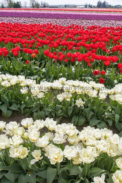 Skagit Valley Tulips 144