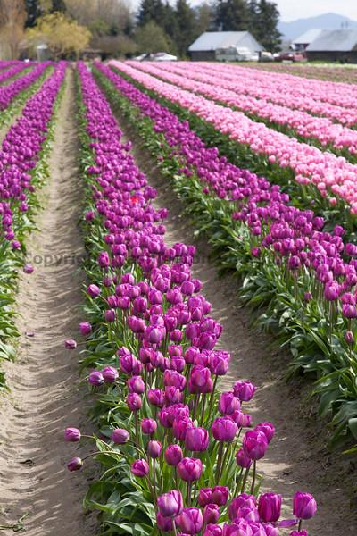 Skagit Valley Tulips 141