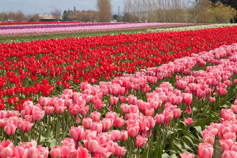 Skagit Valley Tulips 136