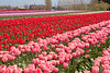 Skagit Valley Tulips 136