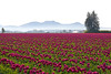 Skagit Valley Tulips Morning 108