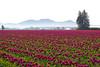 Skagit Valley Tulips Morning 108