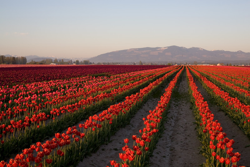 Skagit Valley Tulips 022