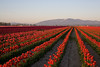 Skagit Valley Tulips 022