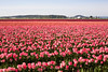 Skagit Valley Tulips 113