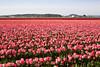 Skagit Valley Tulips 113