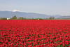 Skagit Valley Tulips 018