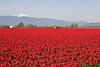 Skagit Valley Tulips 018