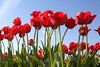 Skagit Valley Tulips 017