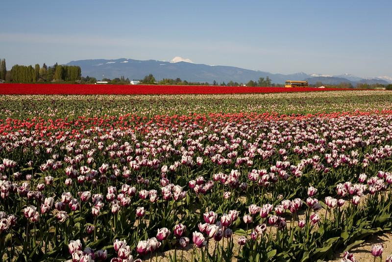 Skagit Valley Tulips 020