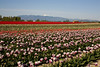 Skagit Valley Tulips 020