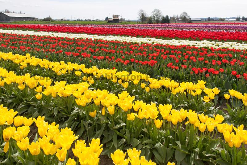 Skagit Valley Tulips 147