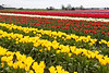 Skagit Valley Tulips 147