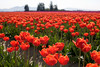 Skagit Valley Tulips 007