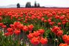 Skagit Valley Tulips 007