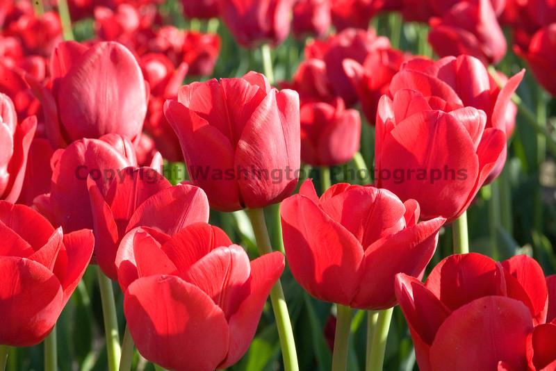 Skagit Valley Tulips 019