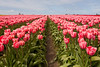 Skagit Valley Tulips 126