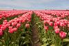 Skagit Valley Tulips 126