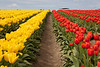 Skagit Valley Tulips 125