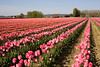 Skagit Valley Tulips 115