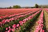 Skagit Valley Tulips 115