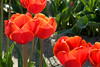 Skagit Valley Tulips 008