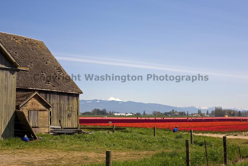 Skagit Valley Tulips 003