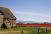Skagit Valley Tulips 003