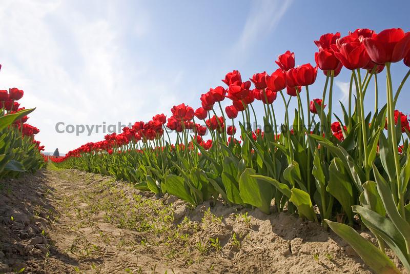 Skagit Valley Tulips 016