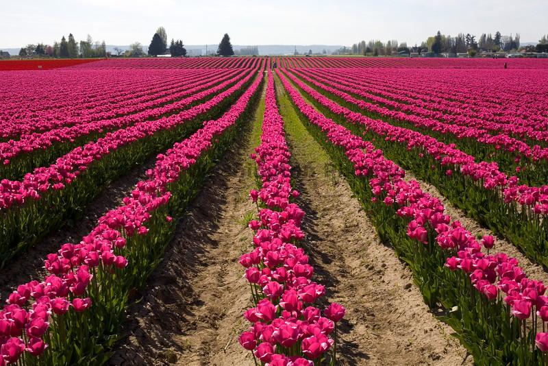 Skagit Valley Tulips 011