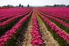 Skagit Valley Tulips 011