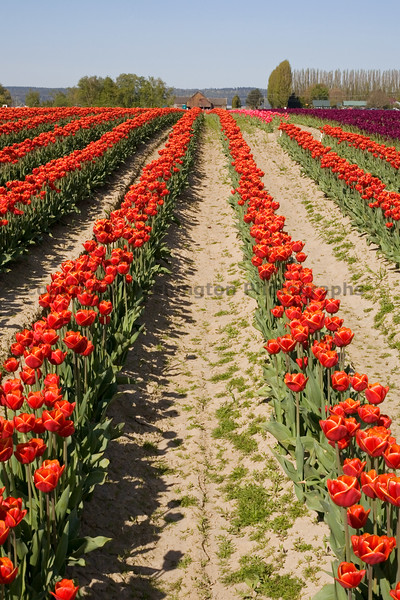 Skagit Valley Tulips 112