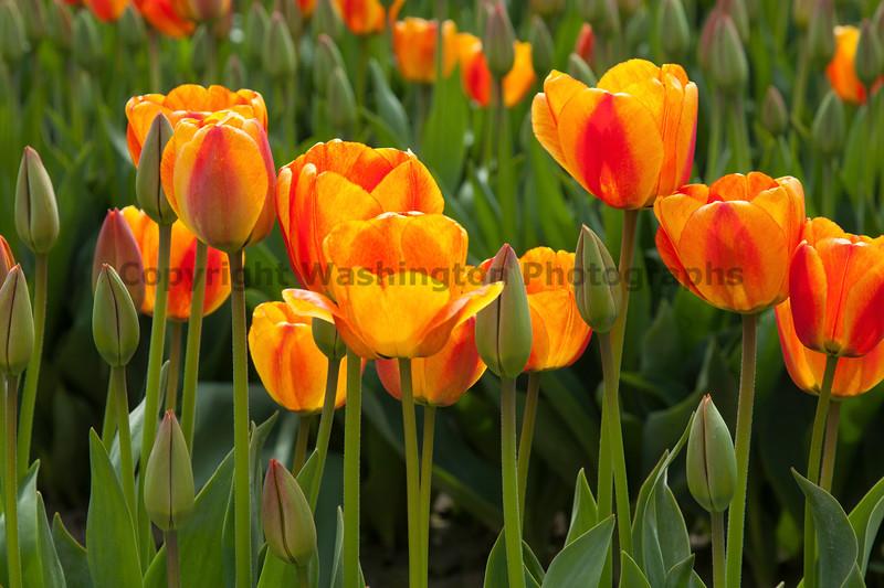 Skagit Valley Tulips 132