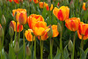 Skagit Valley Tulips 132