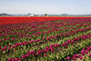 Skagit Valley Tulips 108