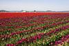 Skagit Valley Tulips 108
